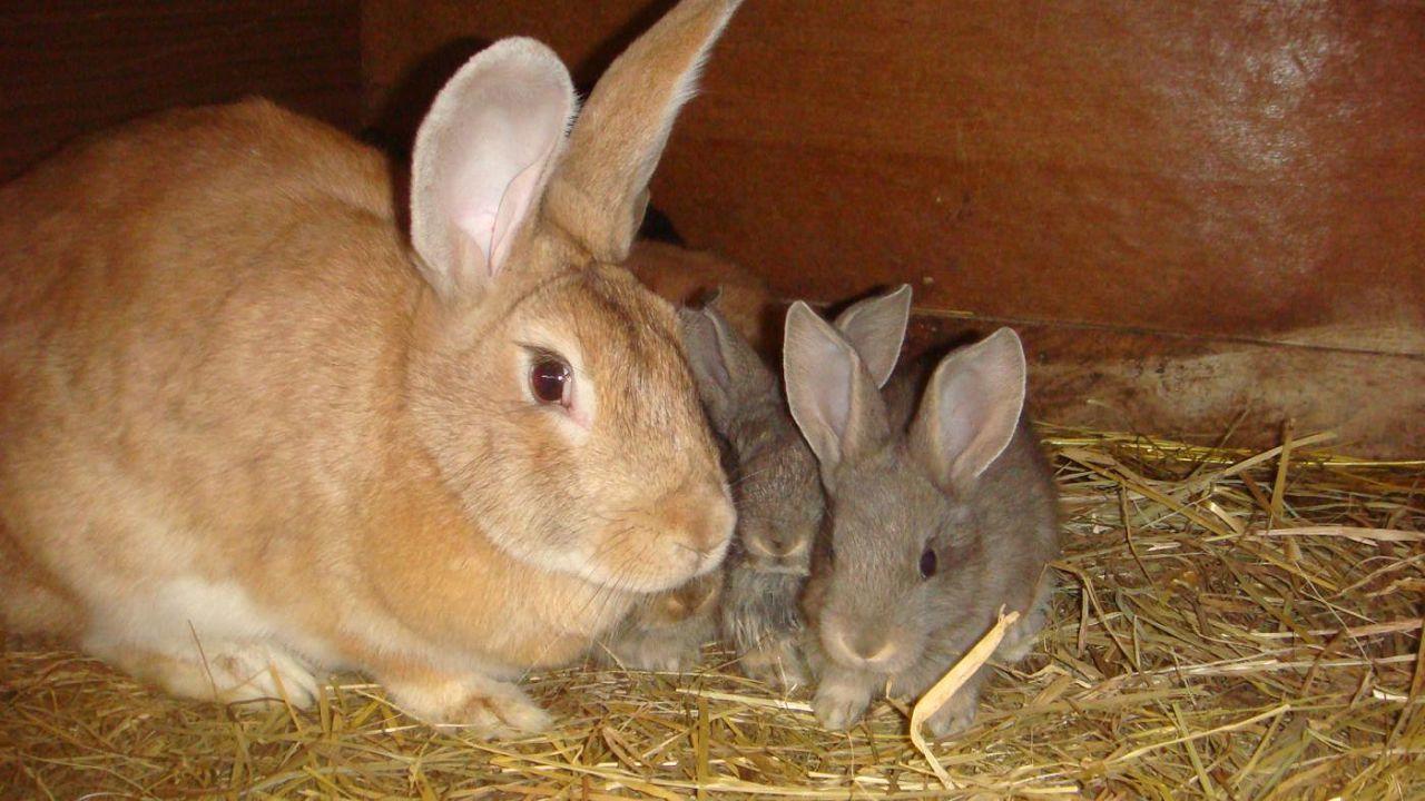 Крольчата в возрасте 20 дней с мамой