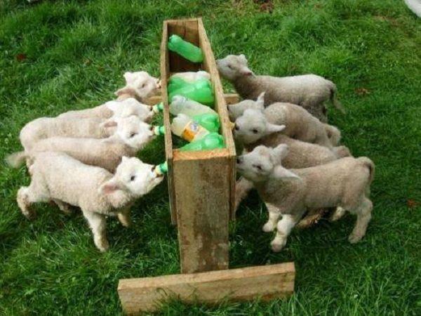 Оригинальное самодельное приспособление для выкорма выводка козлят