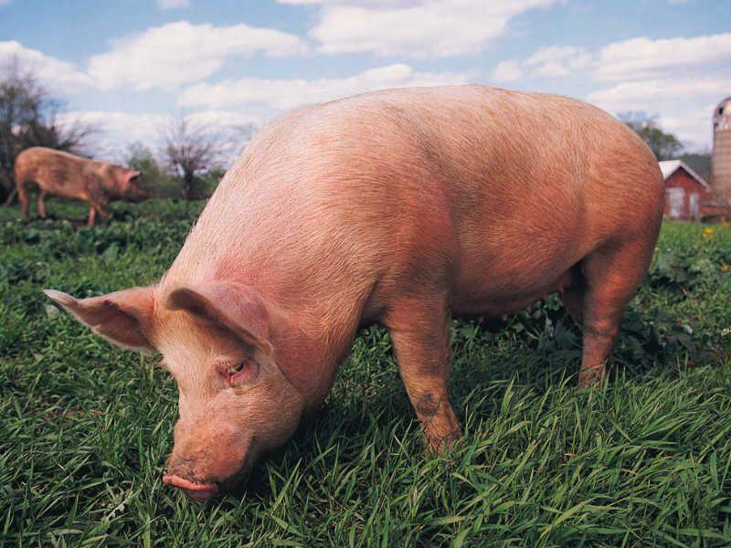Свиньи могут подавать признаки беременности и при этом не быть супоросными