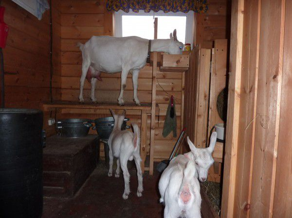 Козлятник для коз