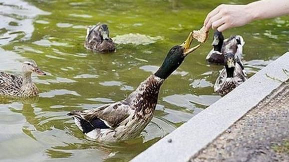Дикие утки в городских прудах часто кормятся за счет местных жителей
