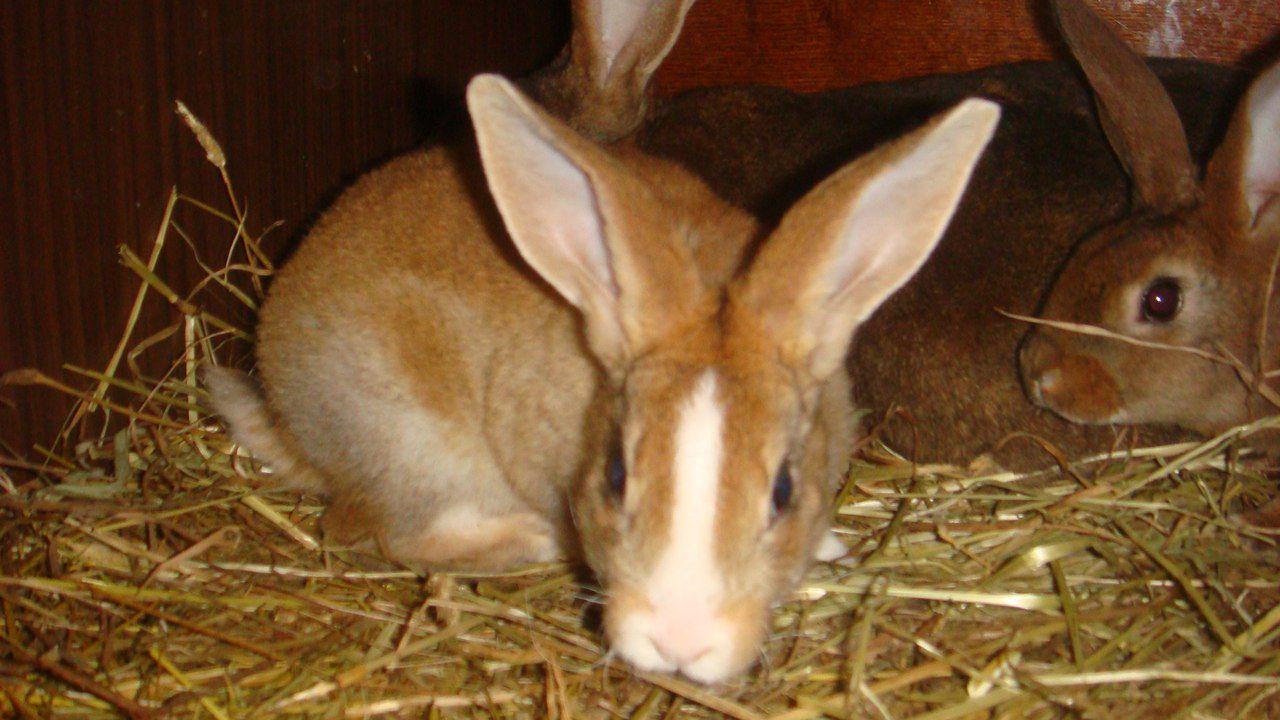 Рацион кроликов обязательно должен включать в себя сено или ветки деревьев