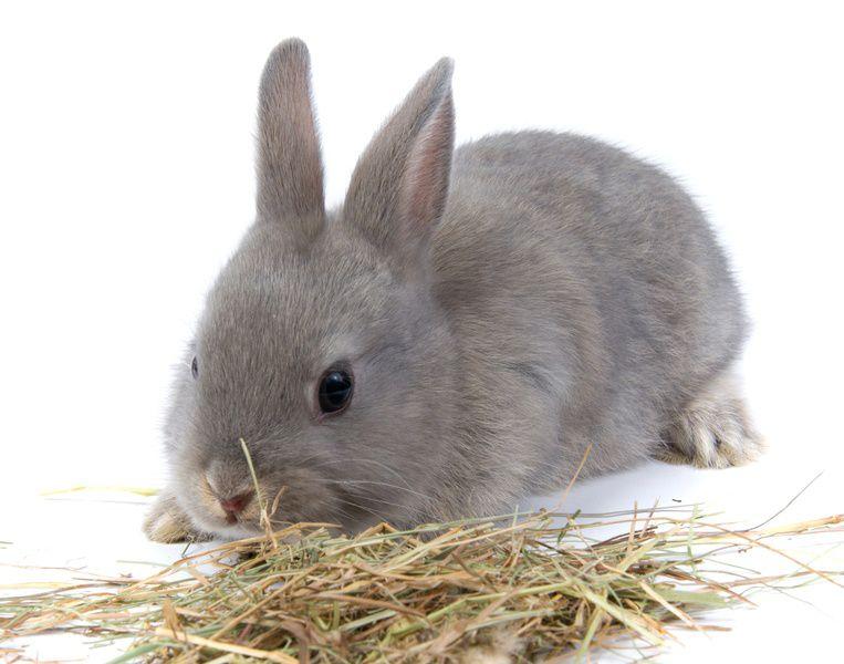 В возрасте 1 месяца сено составляет важную часть рациона крольчат