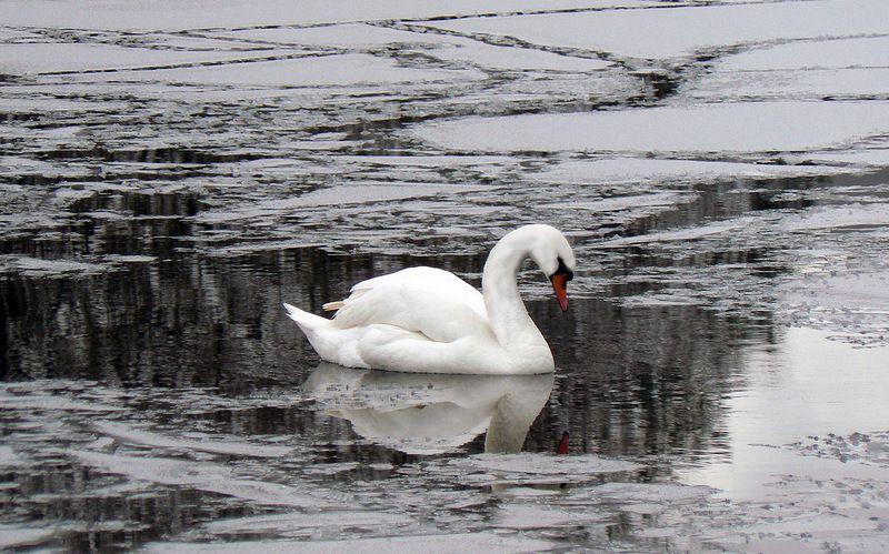 Лебединое оперение не намокает в ледяной воде