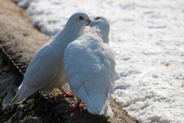 Союз белых голубей