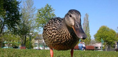 В летний период утки самостоятельно находят себе корм на пастбищах