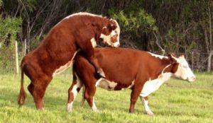 Использование быка-пробника в условиях стада