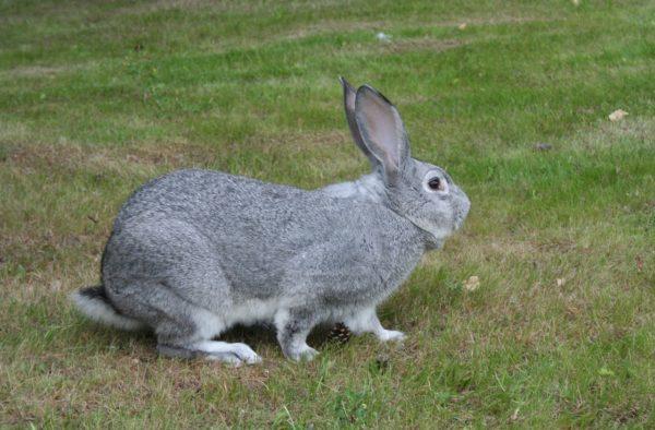 Несмотря на многообразие другие пород, разведение советских шиншилл кроликов популярно и сегодня