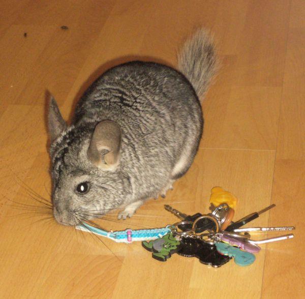 Ключи от дома - неплохая игрушка для шиншилл