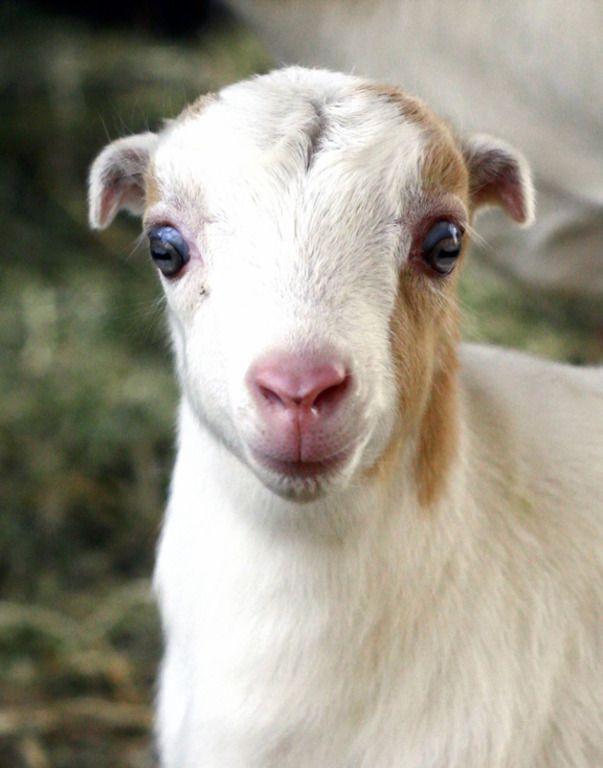 Козам Ламанча свойственен добродушный и мягкий характер