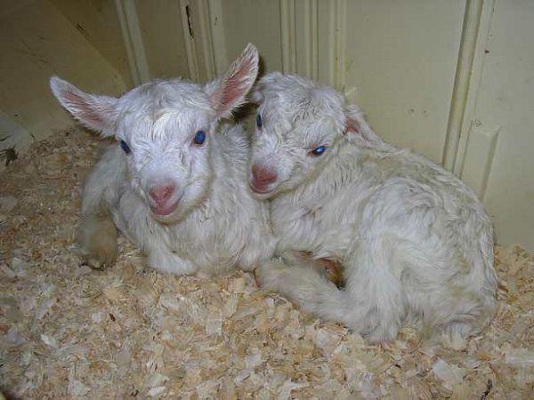 Новорожденные козлята нуждаются в тщательном уходе