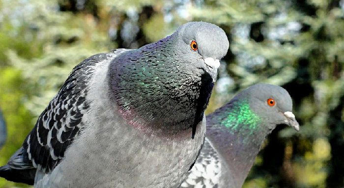 Сизые голуби. Самец (слева) и самка (справа). На этой фотографии хорошо заметен высокий лоб у голубя и покатый у голубки.