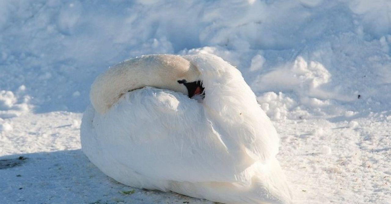 Даже зимой лебедь отдыхает, спрятав голову под крыло