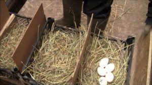 Если наседок много, необходимы перегородки между гнездами