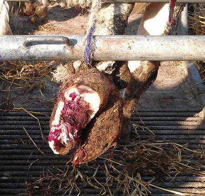 Фиксирование копыт козы