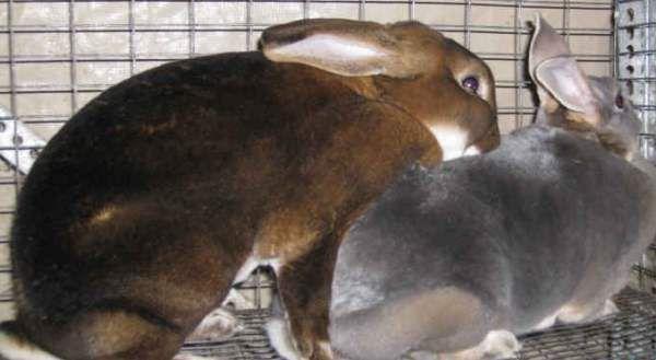 Единственный способ успокоить крольчиху – очередная вязка