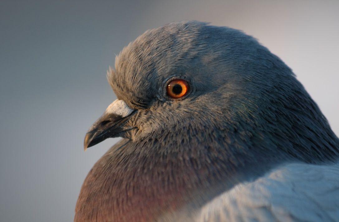 На фотографии можно хорошо рассмотреть восковицу голубя и предположить, что перед нами молодая особь не старше года.