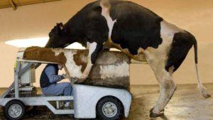 Процесс забора спермы у быка-производителя