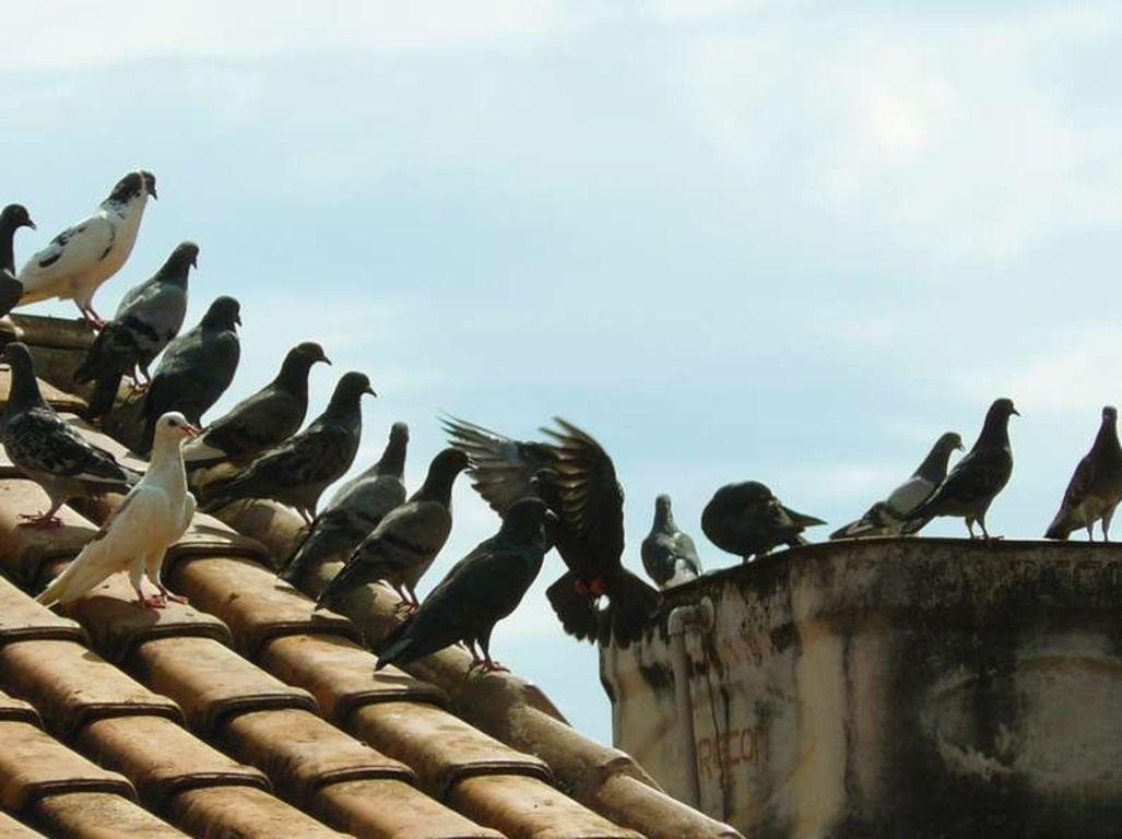 Крыши домов являются излюбленным местом проживания голубей