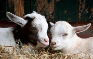 Чтобы легко отучить козлят от молока, давайте им побольше сена