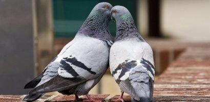Попробуйте определить, опираясь на полученные знания, где самец, а где самка. Подсказка: Во время брачных игр, при поцелуе, голубка кладет свой клюв в клюв голубя.