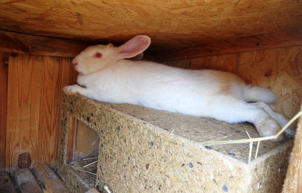 Маточник. Крольчиха лежит на крыше гнезда