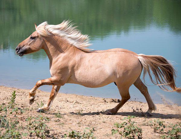 Dun Horse – лошадь с доминантным геном Dun