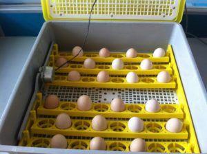 Яйцо в автоматическом инкубаторе