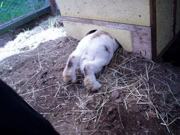 Крольчиха прячется от кролика
