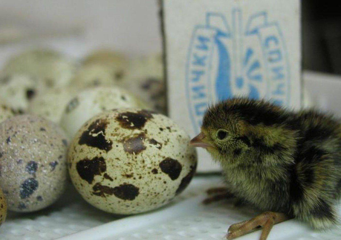 Перепеленок и яйца