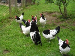 Петух и курицы Лакенфельдер на выгуле