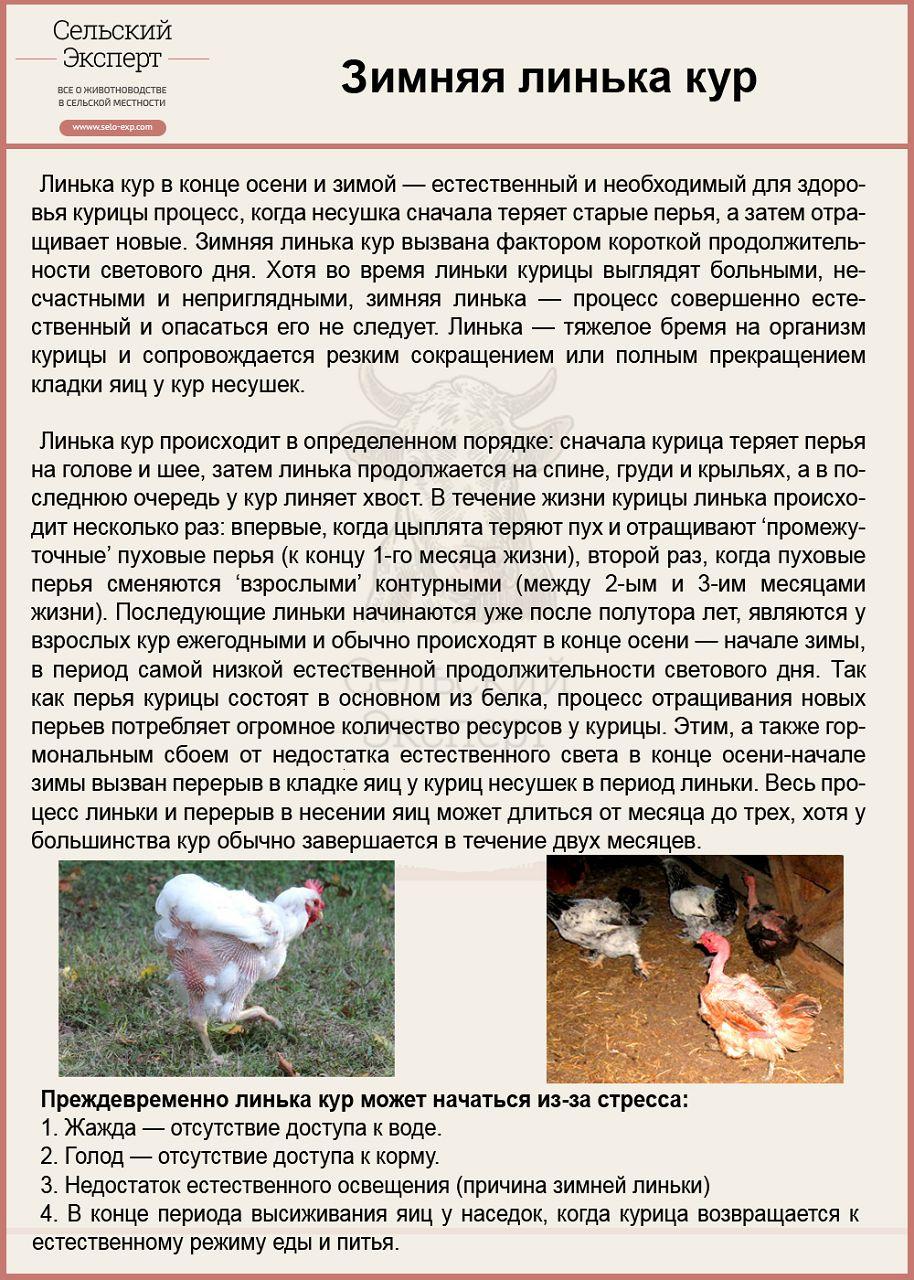 Зимняя линька кур
