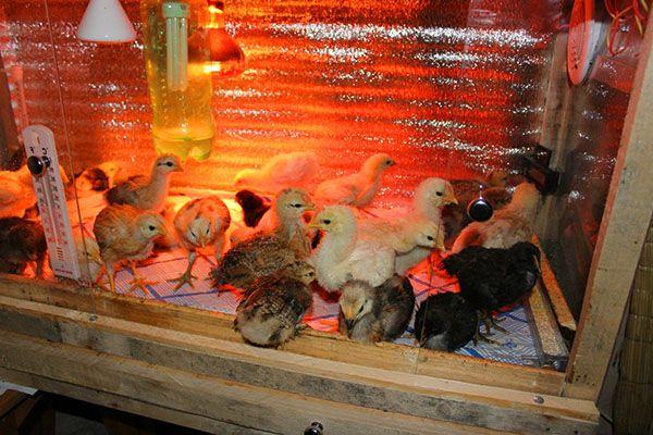 Содержание цыплят в обогреваемом брудере