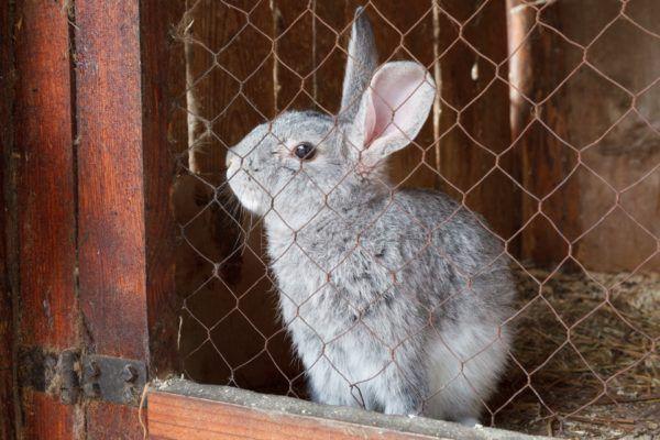 Агрессивных крольчих нужно изолировать от детенышей