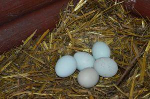 Яйцо Легбара