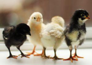 Именно в первый месяц жизни отмечается усиленный рост птицы