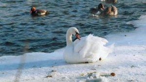 Лебедь-шипун зимой