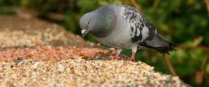 Комбикорм для голубей