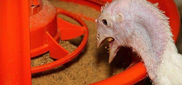 С 4 месяцев начинают давать сухой комбикорм, созданный специально для взрослых птиц