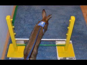 Кролика можно обучить разным трюкам