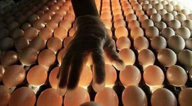 Овоскопирование куриных яиц во время инкубации