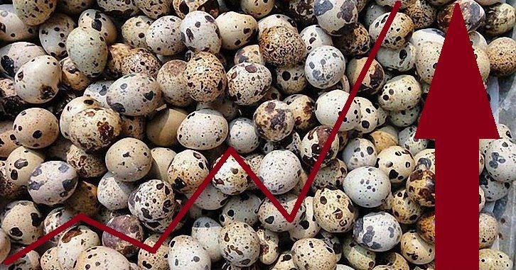 Повышение яйценоскости у перепелок