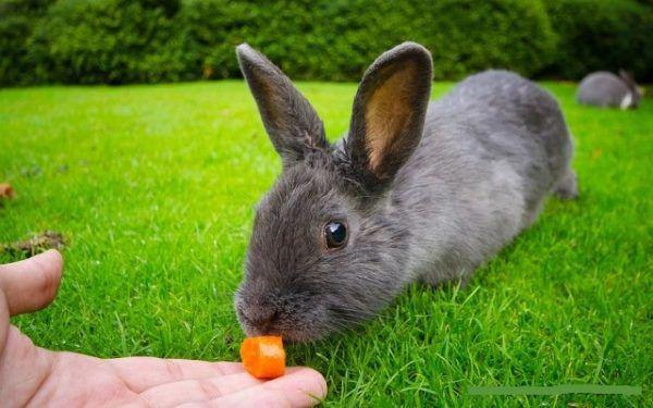 Сочные корма отлично подходят серебряным кроликам