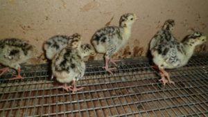 Птенцов нужно содержать в тепле и чистоте