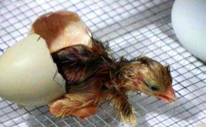 Как вылупляются цыплята
