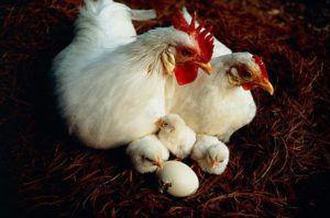 Цыплята Геркулес