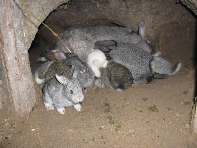 """Пример """"ямного"""" содержания кроликов"""