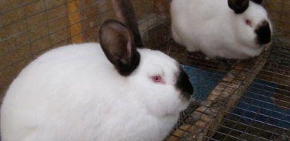 Карликовый кролик породы содержание и уход