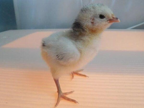Цыпленок Лакенфельдера