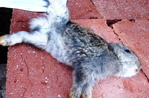 При недостатке кормления крольчонок умрёт от истощения